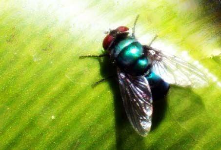 il malefico moscone